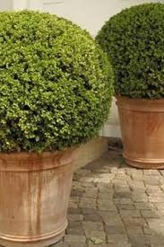 English Box Topiary - how to make a wire ball topiary frame google search gardening