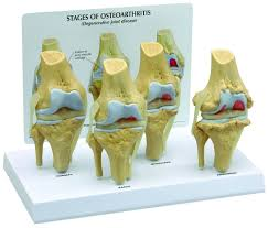 Diagram Of Knee Anatomy Shop For Human Knee Anatomy Models U0026 Charts Anatomy Of The Knee