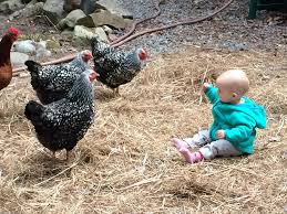 raising backyard chickens cooperative extension in aroostook