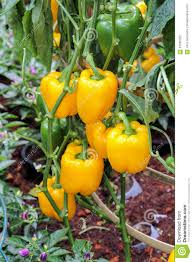 yellow and green bell pepper hanging on tree stock photo image
