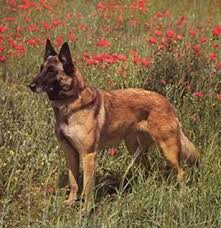 belgian sheepdog brown belgian malinois jpg