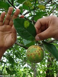 fact sheet leprosis citrus diseases