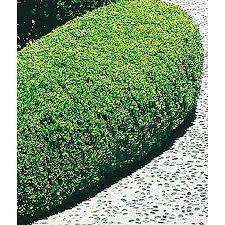 shop 2 quart white winter gem boxwood foundation hedge shrub