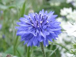 corn flower blue cornflower blue your garden and eat it