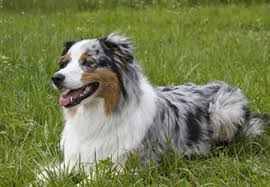 australian shepherd pictures home