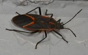 Tiny Crawling Bugs In House by A Bounty Of Boxelder Bugs What U0027s Bugging You