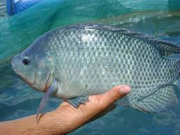 the 3 most common types of tilapia the healthy fish