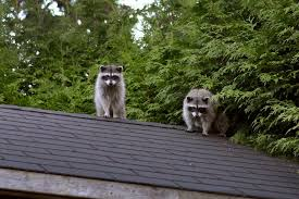 How To Get Rid Of Raccoons In Backyard How To Remove Groundhogs And Moles Angie U0027s List