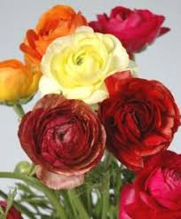 ranunculus flower ranunculus flower archives jr roses wholesale flowers