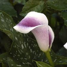 picasso calla zantedeschia picasso calla or arum bulbs for sale
