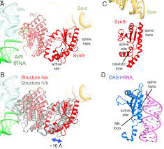 ribosome u2022rela structures reveal the mechanism of stringent