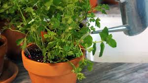 how to grow herbs indoors at home with p allen smith youtube