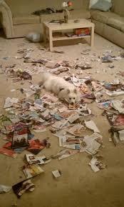 american eskimo dog dallas patriotic american eskimo dog t shirt dogs pinterest ash