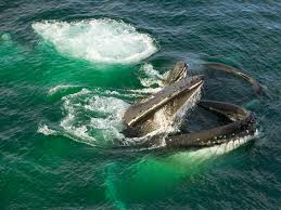 do whales have culture humpbacks pass on behavior
