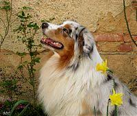 australian shepherd zucht deutschland australian shepherd zucht rosebud of crana kompetenter züchter