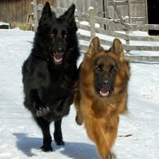belgian sheepdog vs german shepherd laura plumley youtube