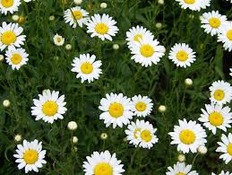 daisies free stock photo public domain pictures