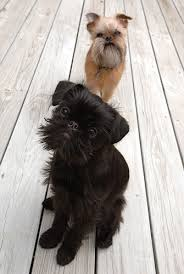 affenpinscher brussels griffon rescue if i could have a pet ewok stuff i like need pinterest