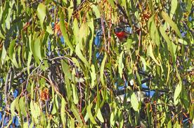 queensland native plants the mistletoe u2014 as australian as the gum tree