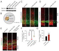 the hominoid specific gene tbc1d3 promotes generation of basal