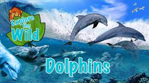 dolphins wikipedia youtube