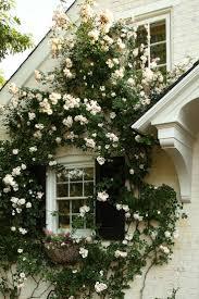 kletterpflanzen fã r balkon die besten 25 rosengarten ideen auf rosenstrauch