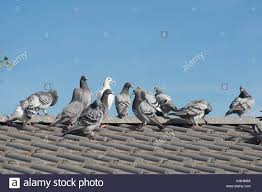How To Get Rid Of Pigeons Off My Roof by Pigeons On A Roof Stock Photos U0026 Pigeons On A Roof Stock Images
