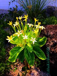 maui native plants ōlulu a k a alula brighamia insignis endangered species only