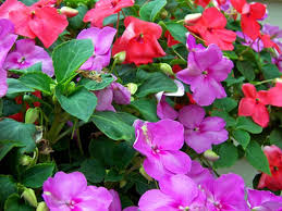 impatiens flowers how to help impatiens that are not blooming hunker