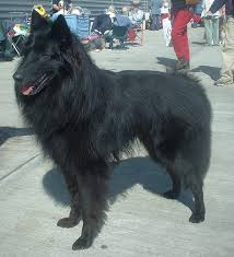belgian sheepdog guard dog belgian shepherd wikipedia