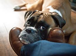 boxer dog vine 15 reasons why boxer dogs are actually the most adorable dogs