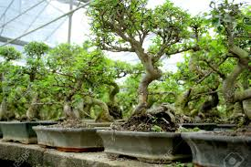 bonsai forest mini trees stock photo picture and royalty free