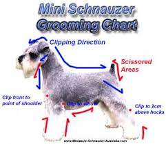 schnauzers hair cuts schnauzer cuts and styles and grooming a miniature schnauzer