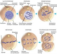 cell division binary fission mitosis meiosis u0026 cancer
