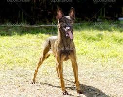 belgian shepherd wallpaper black belgian malinois puppies free hd desktop wallpapers for