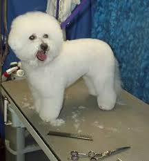 bichon frise jumping the best bichon frise video i u0027ve ever seen two adorable bichons