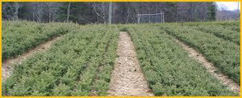 cornett and deal tree farm nc tree farms