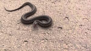 garter snake catch youtube
