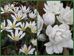 native pennsylvania plants jeffersonia diphylla carolyn u0027s shade gardens