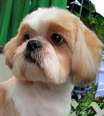 pictures of shih tzu haircuts pet grooming the good the bad the furry scissoring a shih