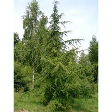 cedrus libani buy cedar of lebanon conifer trees