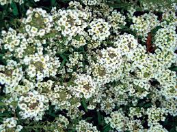 small white flowers sweet alyssum series state by state gardening web