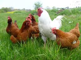 punjab govt to give four hens one to schoolgirls u2013 daily