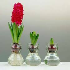 hyacinth flower hyacinth flower bulbs garden plants flowers the home depot