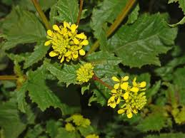 katharine capsella mustard weed free here