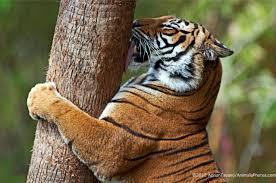 tiger conservation wild tigers 21st century tiger