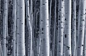 black and white wallpaper ebay birch tree wallpaper 24