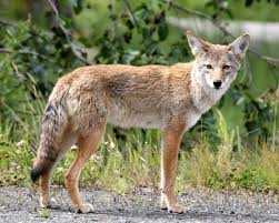 hastings man shoots coyote he found in backyard local news