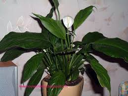 224 antherium houseplant water houseplants tropical plants that