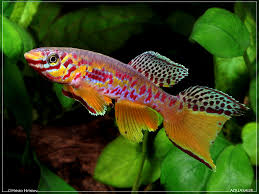 fundulopanchax fallax kribi killifish fish i want to own